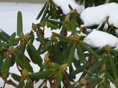 Eingerollte Blätter im Wintern