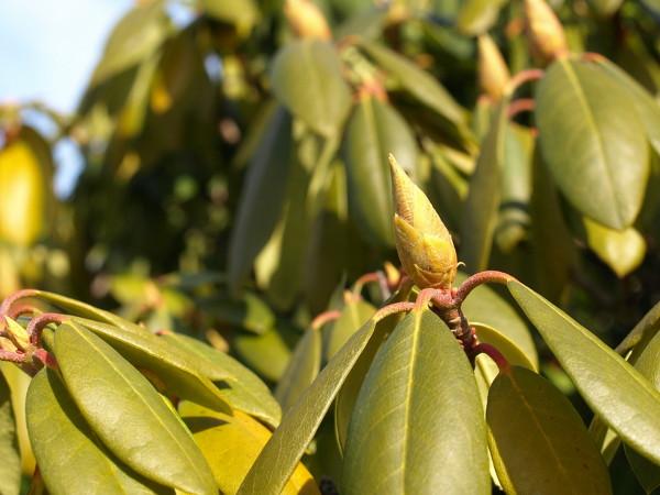 Gut bekannt Rhododendron Krankheiten – Bilder, Beschreibung und Bekämpfung UL91