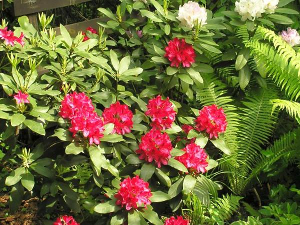 Gemeinsame Rhododendron pflanzen, pflegen und schneiden | Gartentipps &YE_61