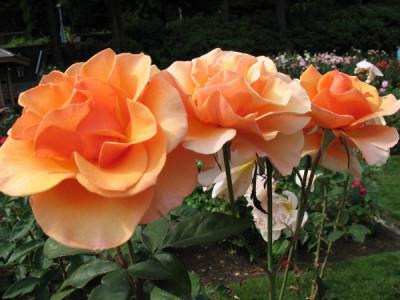 Rosen richtig pflegen