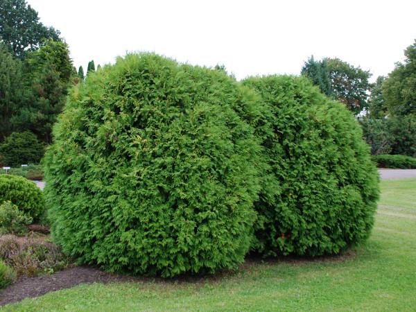 Lebensbaum Pflege Pflanzen Dungen Schneiden Gartentipps