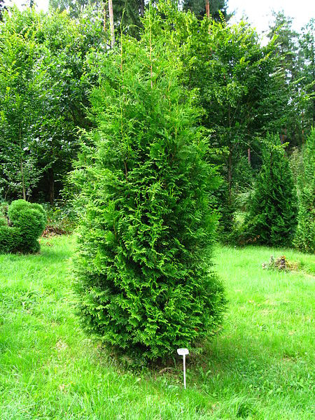 Thuja Brabant Pflanzen Schneiden Dungen Gartentipps