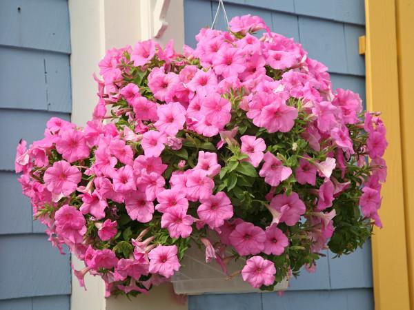 Hängende Balkonblumen, wie Petunien, präsentieren sich erstklassig in Hängetöpfen