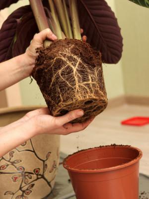 Umpflanzen von Topfpflanzen. Ein Zeichen, dass die Pflanze verpflanzt werden muss, ist, dass die Wurzeln über den Topf gewachsen sind.