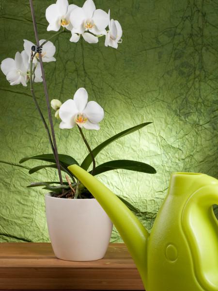 orchideen richtig gie en. Black Bedroom Furniture Sets. Home Design Ideas