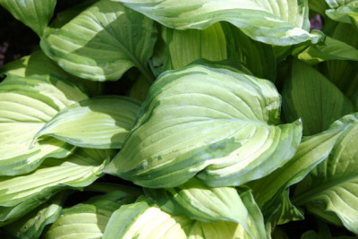 Hosta fortunei Funkien Pflegen