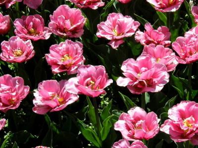 Blumenzwiebeln im Topf überwintern - Tulpen