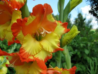 Gladiolen -Blumenzwiebeln im Frühjahr pflanzen