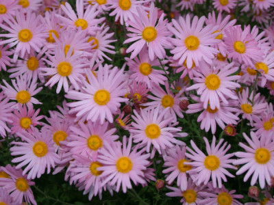 Wenn man Chrysanthemen-Sorten im Garten anbauen möchte, sollte man frostbeständige Gartenchrysantheme auswählen, die nicht aus einer Gewächshausanbauzucht stammen. Auf dem Foto. Chrysanthemum 'Clara Curtis'.