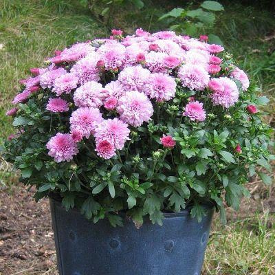 Chrysanthemen im Topf