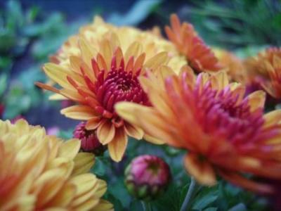 Winterharte Chrysanthemen kaufen