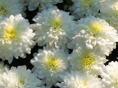 Chrysanthemen Pflege