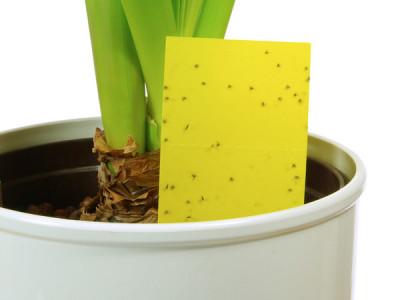 Schwarze Fliegen in Blumenerde in Blumentöpfen sind in der Regel Trauermücken Man kann diese mit gelbem Haftpolster fangen.