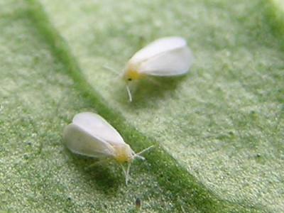 Weiße Fliegen in Blumenerde in Topfblumen sind Gewächshaus-Weiße Fliegen, häufig vorkommende Schädlinge in Topf- und Gewächshauspflanzen.
