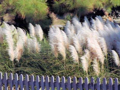 Pampasgras Gräser im Garten