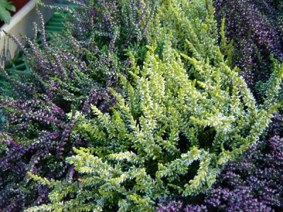 Heidekraut- Herbstpflanzen für den Garten