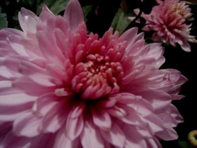Die Kleinblütige Chrysantheme - Winterharte Chrysanthemen kaufen