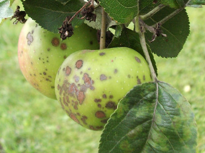 Apfelschorf bekämpfen