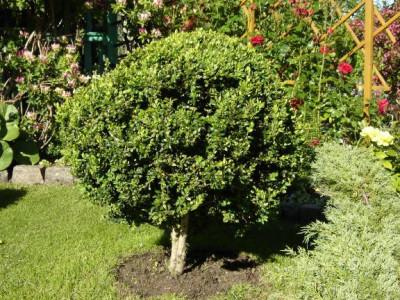 Buchsbaum Sorten