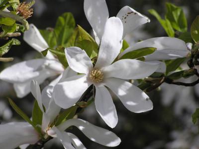 Magnolie blüht nicht