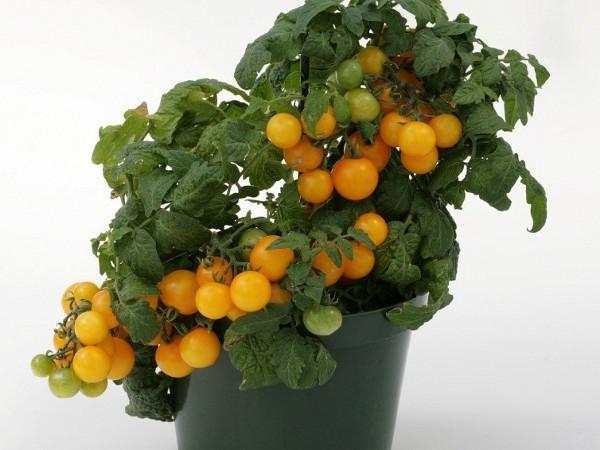 Tomaten Auf Dem Balkon Gartentipps