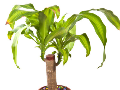 Drachenbaum Krankheiten