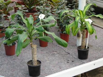 Drachenbaum Pflege