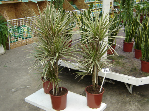 Drachenbaum Pflege Vermehrung Umtopfen Arten Gartentipps