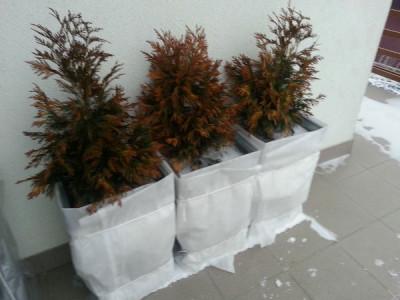 Nadelbäume im Winter