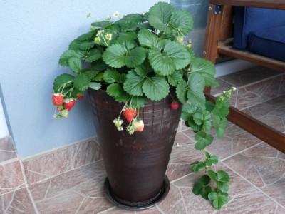 Erdbeeren auf dem Balkon in einem Keramiktopf