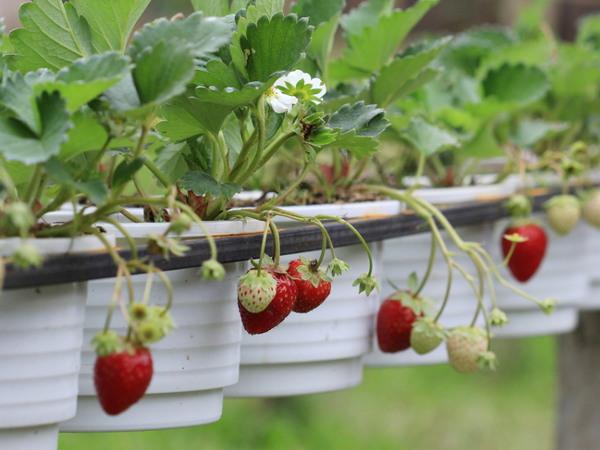 Erdbeeren Auf Dem Balkon Gartentipps