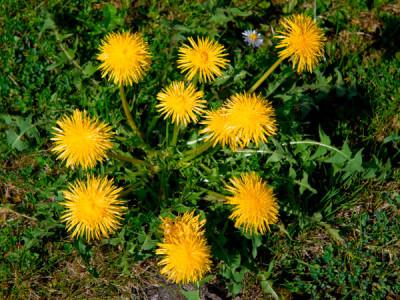 Löwenzahn Pflanze