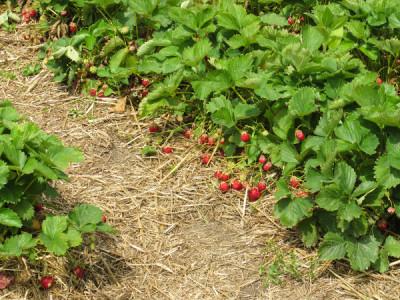 Frigo Erdbeeren