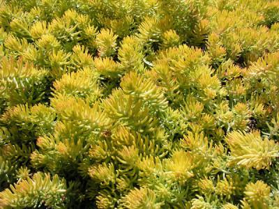 Fetthenne pflanzen