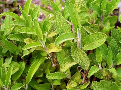 Salbei pflanzen