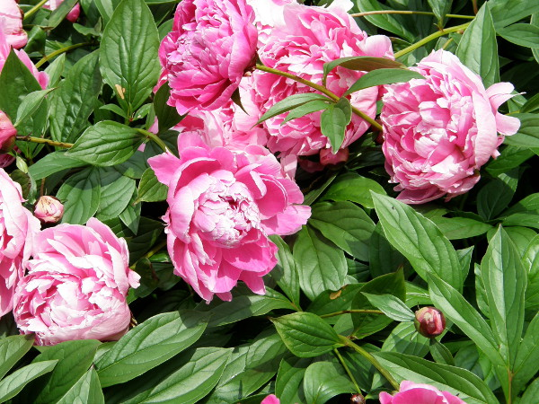 Pfingstrosen Pflanzen Pflegen Vermehren Gartentipps