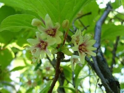 Schisandra pflanzen