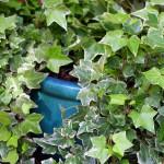 Giftige Zimmerpflanzen - Zimmerefeu