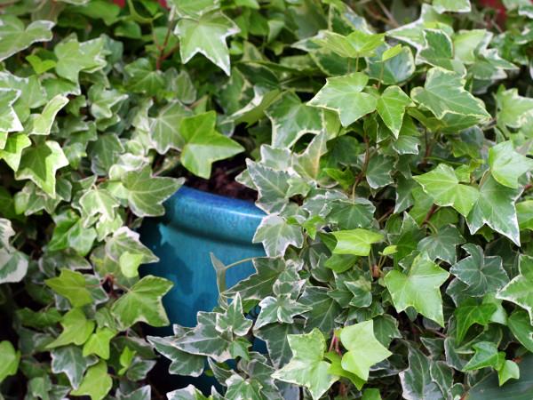 Giftige zimmerpflanzen zimmerefeu - Giftige zimmerpflanzen ...