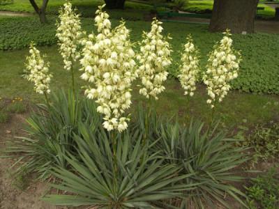 Palmlilie Pflege