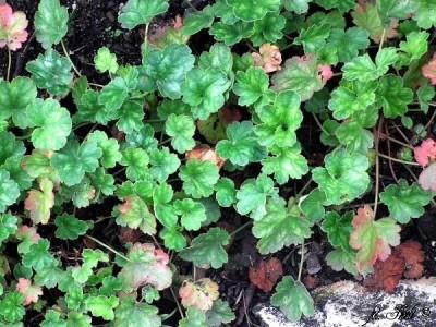 Purpurglöckchen haben herzförmige, gelappte Blätter mit einem weißen Muster
