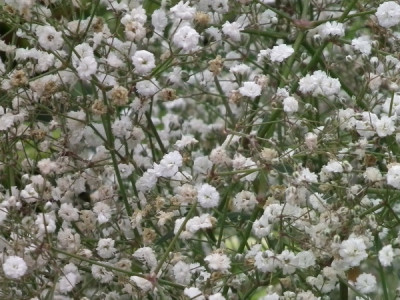 Schleierkraut pflanzen