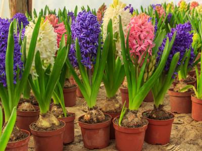Hyazinthen pflanzen