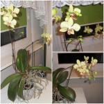 Pflanzen als Geschenk – Orchidee Phalaenopsis