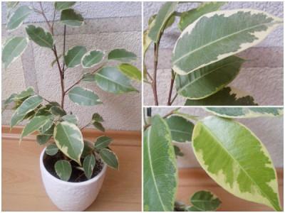 Pflanzen fürs Büro – Birkenfeige 'Variegata'
