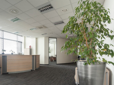 Pflanzen fürs Büro – Feige