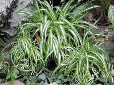 Pflanzen fürs Büro –Grünlilie