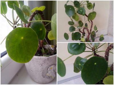 Pflanzen fürs Büro – Kanonierblume