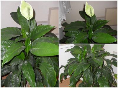 Pflanzen fürs Büro – Scheidenblatt