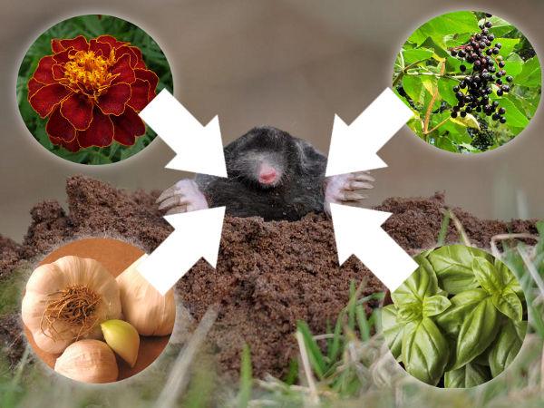 Pflanzen Gegen Maulwürfe GS88